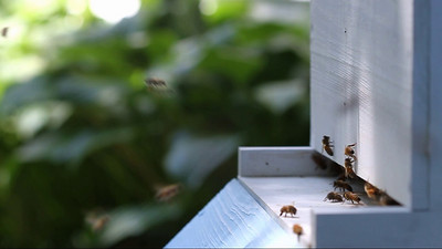 A slow-motion film (1/3 speed) of honey bees taking off and landing at the nest entrance.  Urbana, Illinois, USA