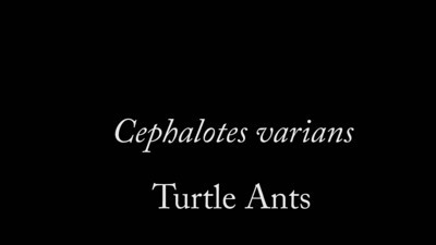 Cephalotes varians is a turtle ant found in the Florida keys.