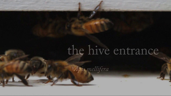 This film is a continuous pan across a busy hive entrance.  Urbana, Illinois, USA
