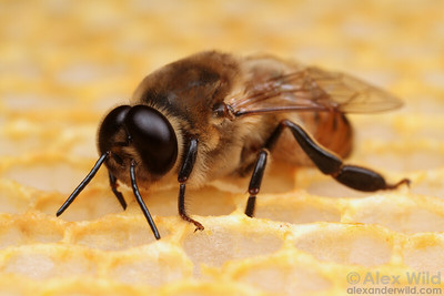 Male bees can be recognized by their enormous eyes, useful for spotting unmated queens on the wing.