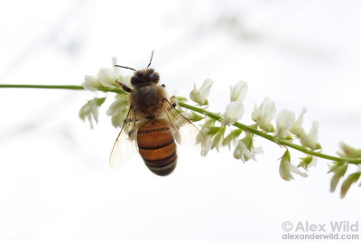 A honey bee gathers nectar from yellow sweet clover Melilotus albus.