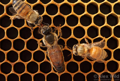 A queen honey bee solicits food from one of her daughters.