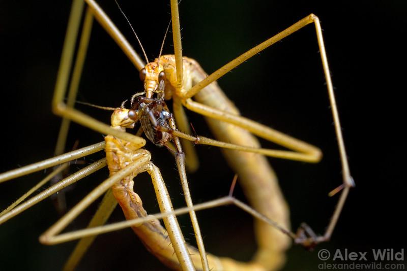 Apterobittacus apterus - wingless hangingfly