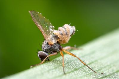Entomophthora fungus on Coenosia fly