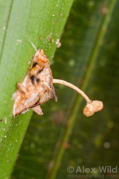 Ophiocordyceps dipterigena