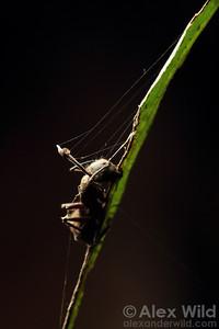 Ophiocordyceps unilateralis