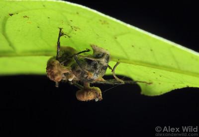 Ophiocordyceps lloydii var. binata