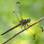 Cannaphila insularis - gray-waisted skimmer