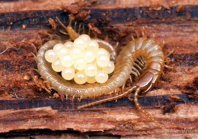 Geophilomorph centipede