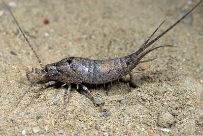 Machilidae
