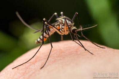 Aedes triseriatus (sometimes, Ochlerotatus triseriatus)