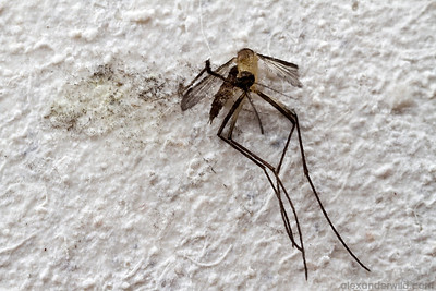 An ex-mosquito