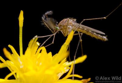 Culex - male feeding on nectar