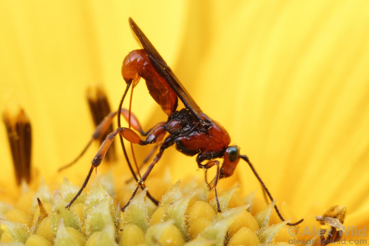 Lytopylus (Braconidae: Agathidinae)