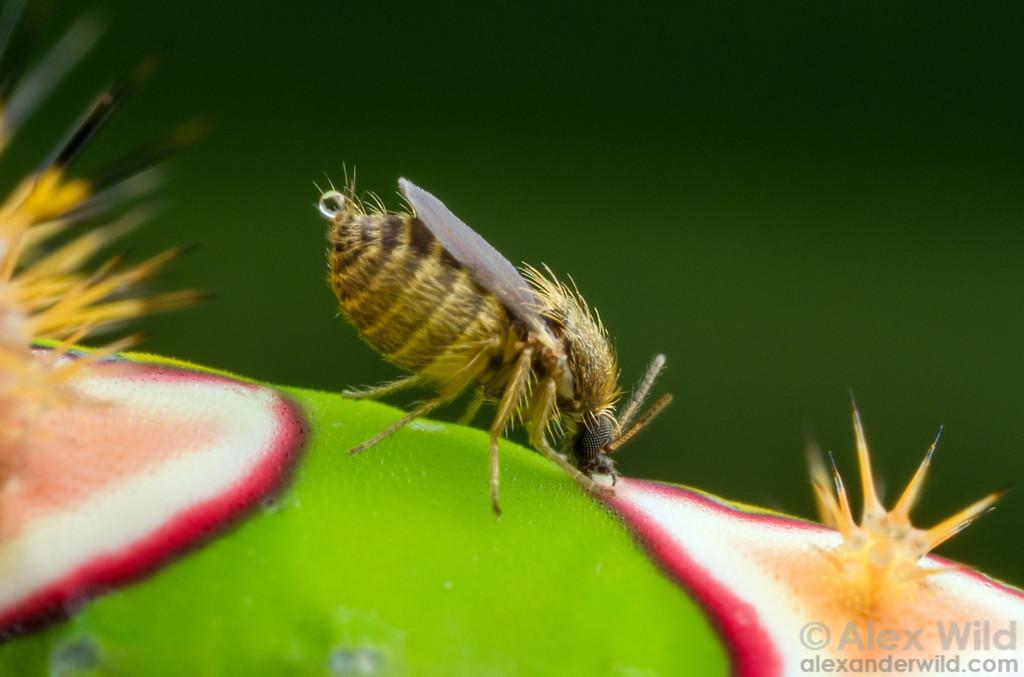 Ceratopogonidae