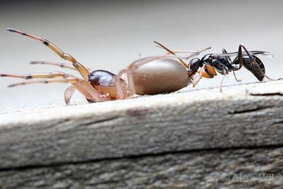 Dipogon sp. spider wasp