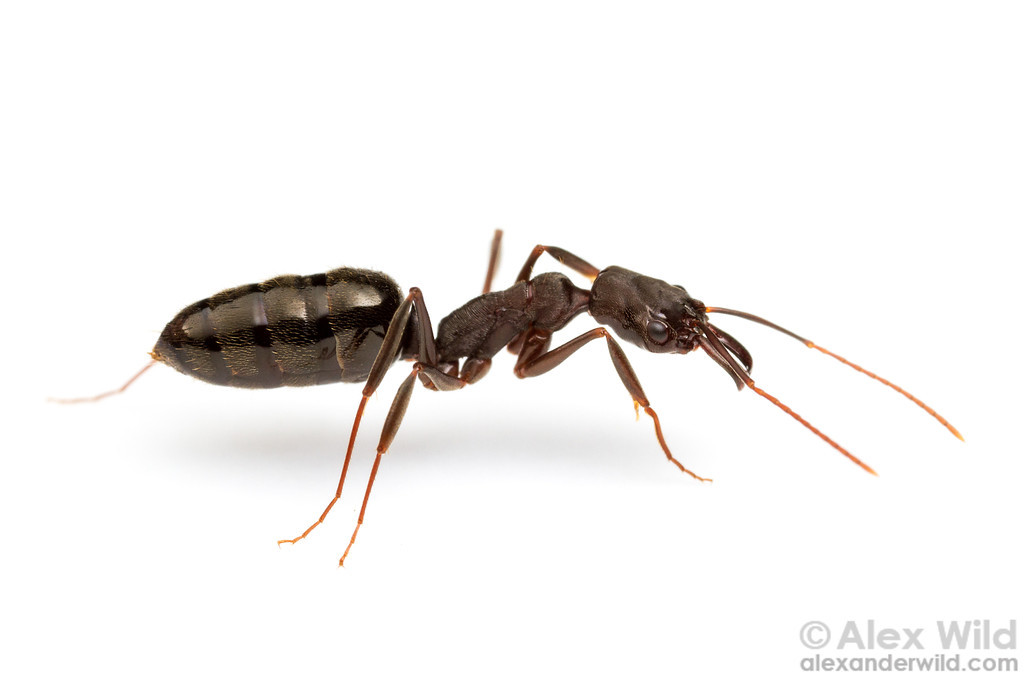 Parasitized trap-jaw ant