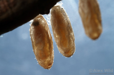 Braconid wasp cocoons