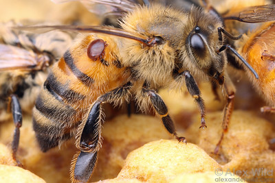 Varroa destructor mite on honey bee