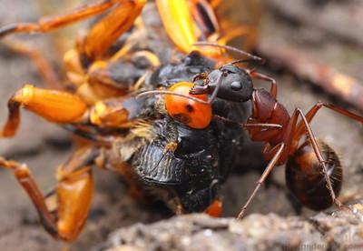 Camponotus ant scavenges a dead cicada