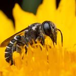 Megachile