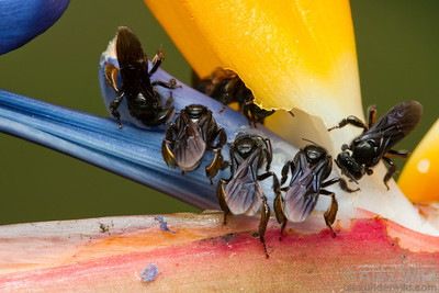 Trigona sp. stingless bees