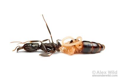 Mermithid nematode