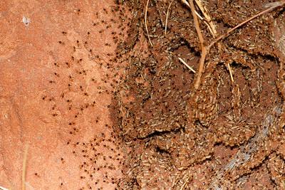 Termites Repairing Mound