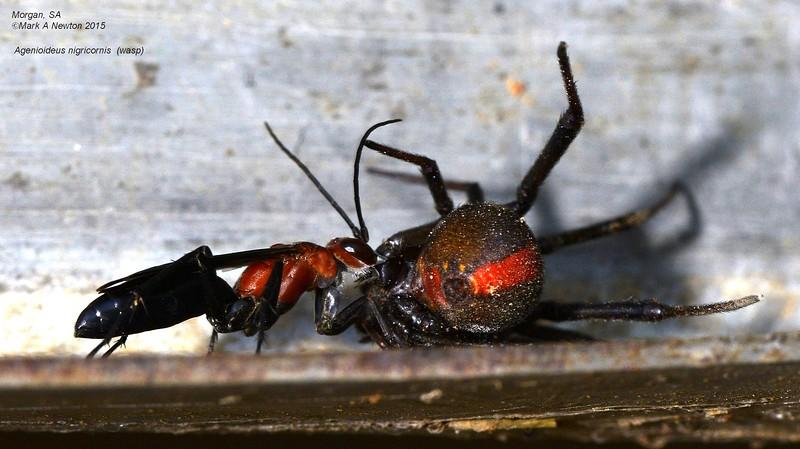 Agenioideus nigricornis
