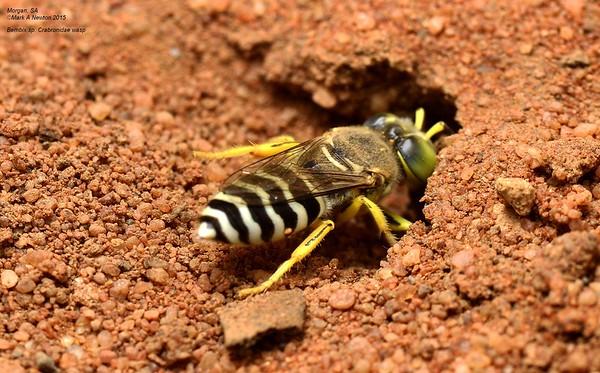 Bembix sp cf variabilis digging nesting hole