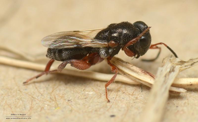 Brachymeria sp