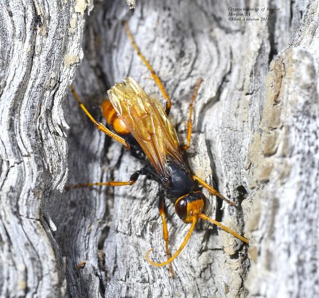 Cryptocheilus sp. cf. bicolor