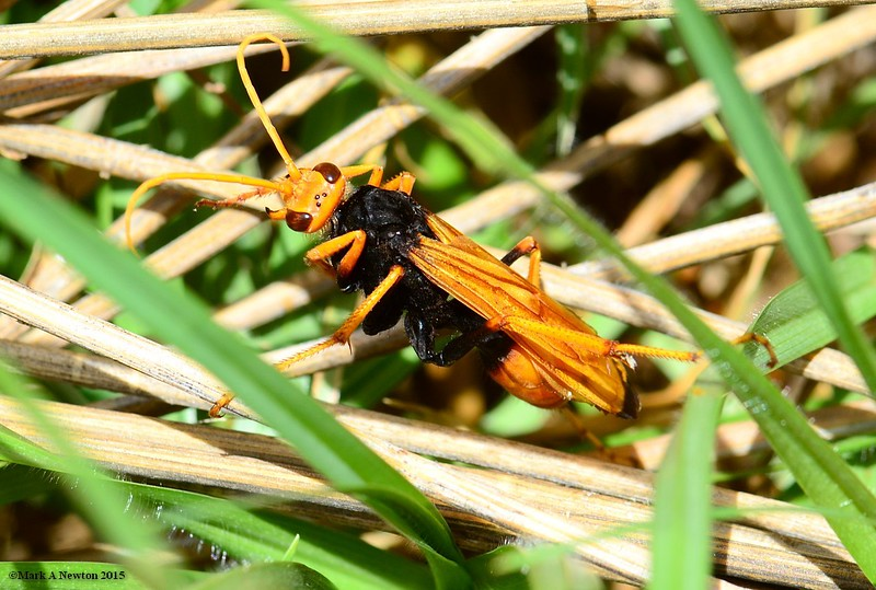 Cryptocheilus sp. cf. bicolor  -  in hot pursuit of a wolf spider