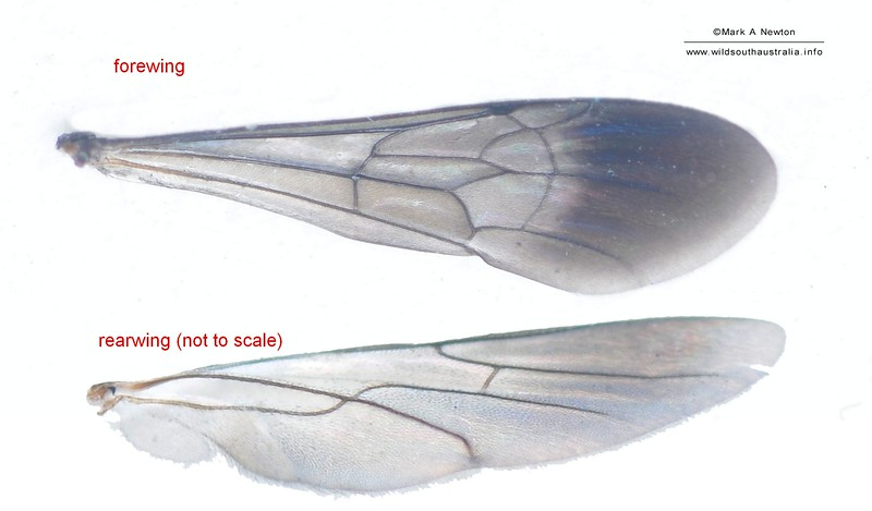 Ctenostegus sp1 aff. brevispinosus wing (female)   approx 7mm