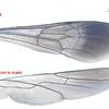 Ctenostegus sp1 aff. brevispinosus wing (female)   approx 7mm