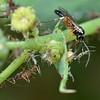Diplazon laetatorius (Ichneumonidae: Diplazontinae)