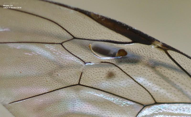 Enicospilus sp wing close