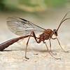 Enicospilus sp