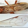 Ichneumonid forewing vs Braconid forewing  cross vein 2mcu
