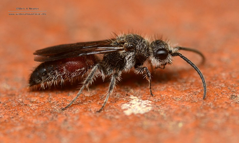Mutillidae adult male