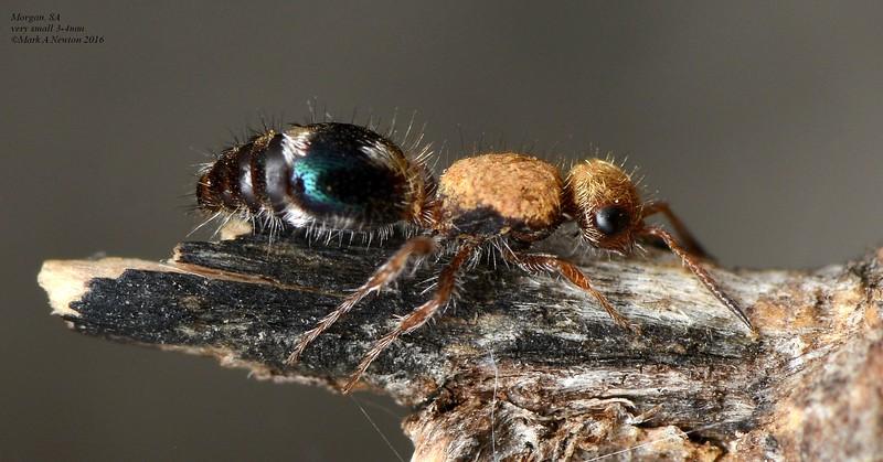 Mutillid wasp  tiny 3-4mm