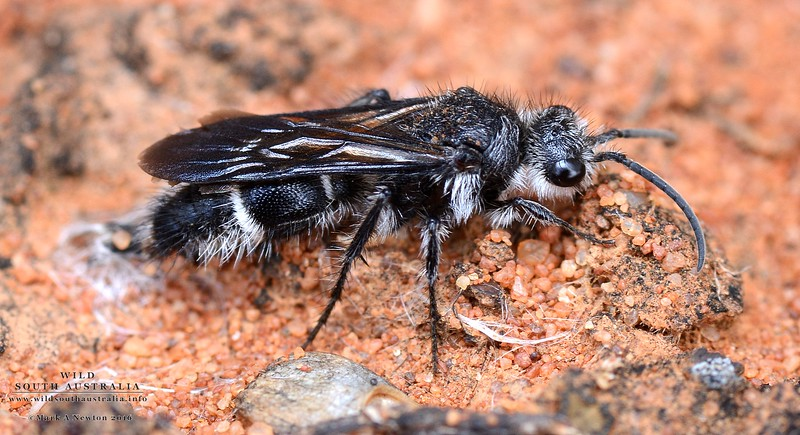 Mutillid wasp (Male)