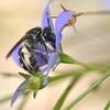 Lasioglossum sp. cf. lanarium