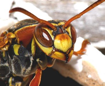 Taken with my new Sigma 150 f/2.8 Macro Lens+Tamron 2x TC+550EX Flash. My very first Wasp with this new lens. Ain't He purty? Haha!