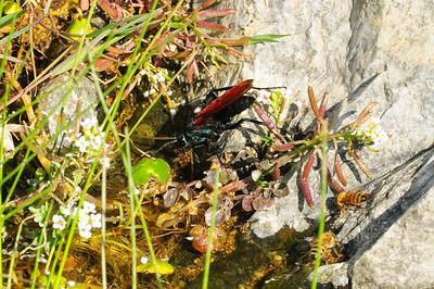 Trantuala Wasp