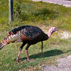 Texas Turkey