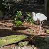 Spoonbill at Lowry Zoo Tampa
