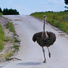 Ostrich approaching the car for a look.