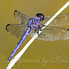 Slaty Skimmer Looking  Purple View 2