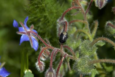Chrysomelidae -  Unknown leaf beetle
